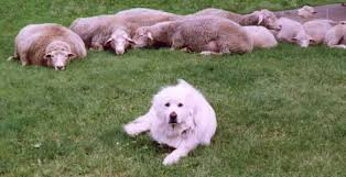 Pit Bulls & Sheepherding Dogs Guard A Flock